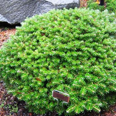 Пихта корейская Зильберкугель-зеленый