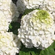 Гортензия метельчатая Мэджикал Монблан-белый