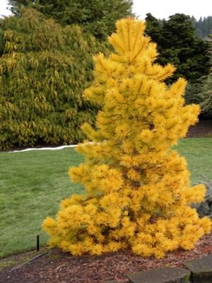Сосна скрученная Чиф Джозеф на штамбе 95-105 см (Pinus contorta Chief Joseph) - фото 15828