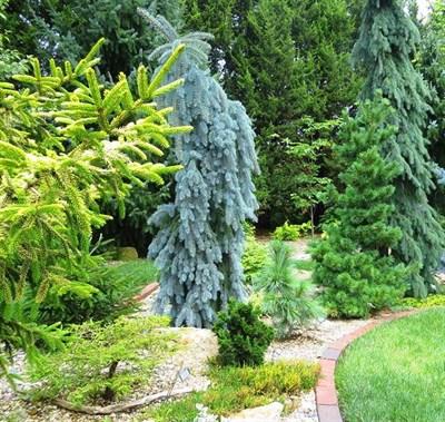 Ель колючая Зе Блюз  (Picea pungens 'The Blues') - фото 16176