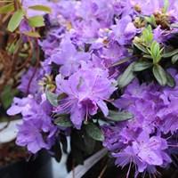 Рододендрон плотный-фиолетовый