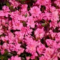 Рододендрон тупой Розинетта-розовый