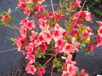 Азалия японская Эдди Вери-розовый