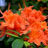 Рододендрон Гейша Оранж-оранжевый