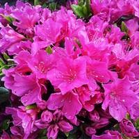 Рододендрон Гейша Пурпл-фиолетовый