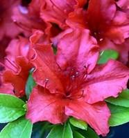 Рододендрон Хот Шот-красный