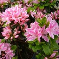 Рододендрон Кермезина-розовый