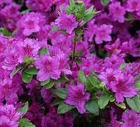 Рододендрон Кёнигштайн-фиолетовый