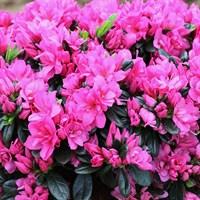 Рододендрон Мелина-розовый