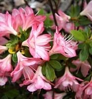Рододендрон Пегги Энн-розовый