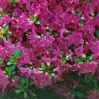 Рододендрон Пурпуртраум-фиолетовый