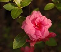 Рододендрон Розебад-розовый