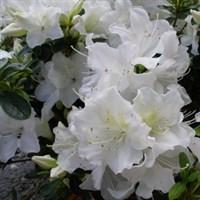 Рододендрон Плесант Уайт -белый