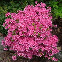 Рододендрон Сильвестер-розовый