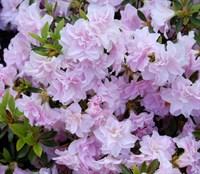 Рододендрон Thierry (Rhododendron (AJ) ´Thierry´)