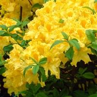 Рододендрон Аннеке-желтый