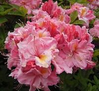 Рододендрон Сесиль-розовый