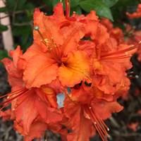 Рододендрон Гибралтар-оранжевый