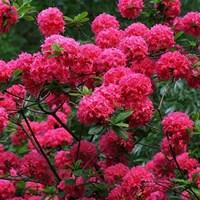 Рододендрон Хоумбуш-розовый