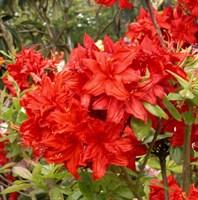 Рододендрон Набукко-красный