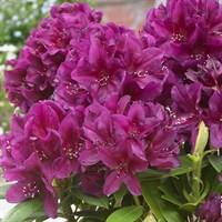 Рододендрон Поларнахт-фиолетовый