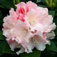 Рододендрон Дримленд-розовый