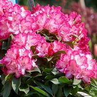 Рододендрон Фантастика-розовый