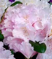 Рододендрон Зильбервольке-розовый