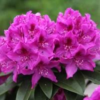 Рододендрон Анах Крушке-фиолетовый