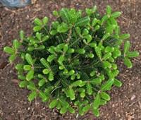 Пихта корейская Оберон-зеленый