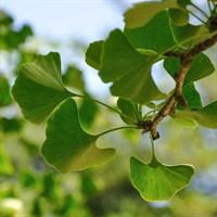 Гинкго Билоба-зеленый