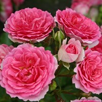 Роза миниатюрная Амика-розовый