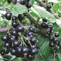 Смородина Селечинская-2 -черный
