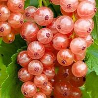 Смородина Голландская розовая-красный