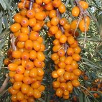 Облепиха Чуйская-оранжевый