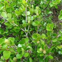Берёза карликовая -зеленый