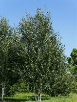 Берёза полезная Жакмона-зеленый