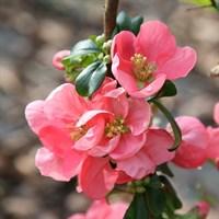 Айва превосходная Пинк Леди-розовый