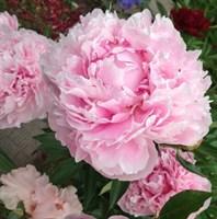 Пион Альберт Круз-розовый