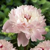 Пион Алерти-розовый