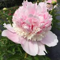 Пион Энджел Чикс-розовый