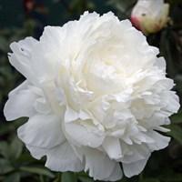 Пион Энн Казенс-белый