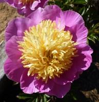 Пион Антверпен-розовый
