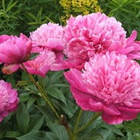 Пион Барбара-розовый