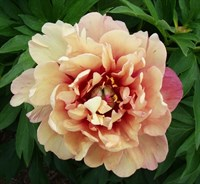 Пион ито-гибрид Берри Гарсия-розовый