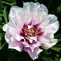 Пион ито-гибрид Кора Луиза-розовый