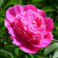 Пион Букет Перфект-розовый