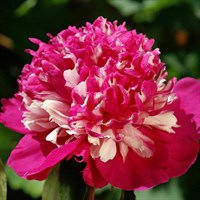Пион Селебрити-двухцветный