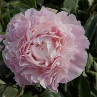 Пион Шифон Парфе-розовый