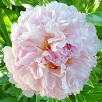 Пион Чинук-розовый